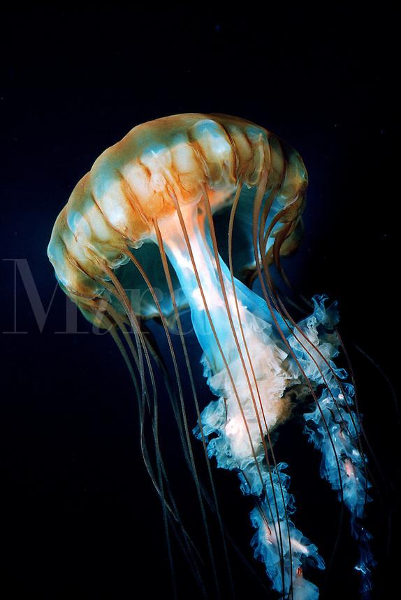 Sea nettle, Chrysaora sp ., California, Pacific Ocean