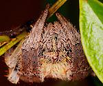 Araneidae Spider-Eriophora transmarina