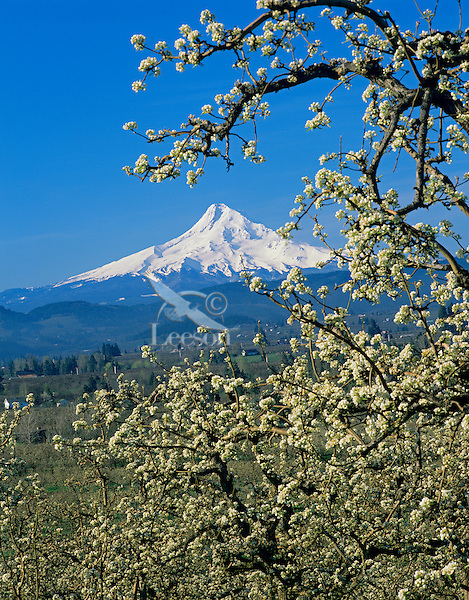 Mount Hood from Hood River orchards, Oregon.  April.