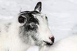 nigerian dwarf goat, close-up of face looking right