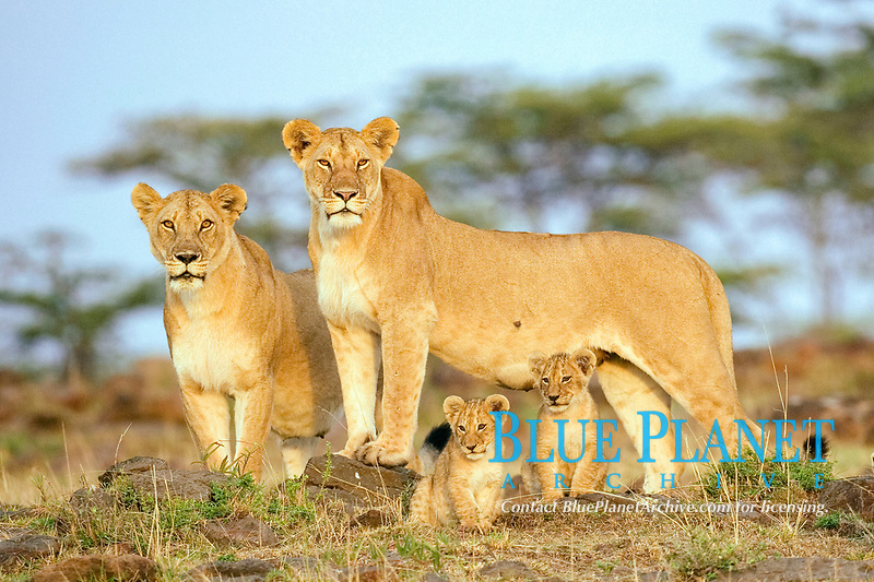 African lions (Panthera leo), lionesses and cubs, Maasai Mara Game Reserve, nian lion, lioness, lionesses, Kenya, Africa