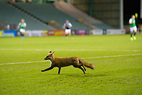 15th November 2020; Easter Road, Edinburgh, Scotland; Scottish League Cup Football, Hibernian versus Dundee FC; The fox which invaded the pitch during the second half of the match makes a run for freeddom