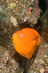 San Clemente Island, Channel Islands, California; a Garibaldi (Hypsypops rubicundus) fish emerges from a hole in the rocky reef