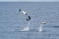 Atlantic Spotted Dolphin (Stenella frontalis) three animals breach simultaneously. Azores, Atlantic Ocean, series 1 of 4 )