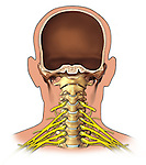 Brachial Plexus - Anterior view; this medical illustration depicts an anterior view of the brachial plexus.