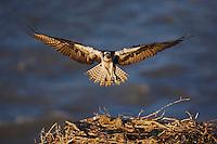 Osprey (Pandion haliaetus), adult landing on nest, Yellowstone River, Yellowstone National Park, Wyoming, USA
