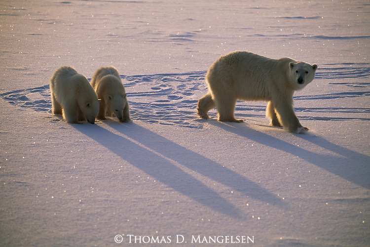 Two polar bear cubs pause as their mother walks on through the snow in Churchill, Manitoba, Canada.