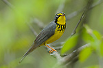 Adult male Canada Warbler (Wilsonia canadensis) in breeding plumage. Tompkins County, New York. May.