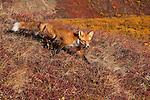 A red fox walks down a hillside in Denali National Park, Alaska.