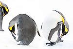 Study of adult king penguins (Aptenodytes patagonicus) preening on snow. Grytviken, South Georgia, South Atlantic.