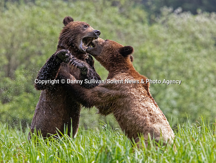 Sequence 8 of 9:  Young bears look like they're dancing as they play fight in the morning sun.  The two animals had just swum across an inlet in the Khutzeymateen Grizzly Bear Sanctuary in Canada's British Colombia when they indulged in some horseplay.<br /> <br /> The images were captured by amateur wildlife photographer Danny Sullivan.  SEE OUR COPY FOR DETAILS.<br /> <br /> Please byline: Danny Sullivan/Solent News<br /> <br /> © Danny Sullivan/Solent News & Photo Agency<br /> UK +44 (0) 2380 458800