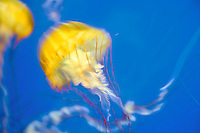 Sea nettle. Chrysaora sp. Oregon Coast Aquarium. Newport, Oregon