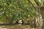 T-134 Banyan (Ficus bengalensis) trees in Kibbutz Sde Eliyahu