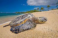 green sea turtle, Chelonia mydas, endangered species, basking in the sun, Kukio Beach, Kohala Coast, Big Island, Hawaii, USA, Pacific Ocean