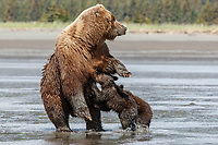 Brown Bear sow walks her two spring cubs lunge to nurse. On the mud of Cook Inlet at low tide clamming in Lake Clark National Park.  Silver Salmon Creek area. Western Alaska  Summer<br /> <br /> Photo by Jeff Schultz/  (C) 2020  ALL RIGHTS RESERVED