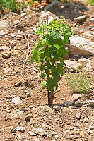 Domaine Cazeneuve in Lauret. Pic St Loup. Languedoc. Sandy and calcareous rock soil. Syrah vine variety. Terroir soil. France. Europe. Sand. Calcareous limestone.