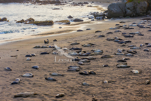 """Northern Elephant Seals (Mirounga angustirostris) resting on beach in evening light.  Most are pups (often called a """"weaners"""") with a few females.  Central California coast."""
