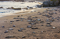 "Northern Elephant Seals (Mirounga angustirostris) resting on beach in evening light.  Most are pups (often called a ""weaners"") with a few females.  Central California coast."