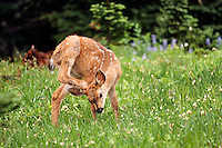Blacktail deer fawn scratching head with hind leg, Paradise, Mount Rainier National Park, Washington, USA.  See photo WM46 for this deers mother scratching head in exact same way.