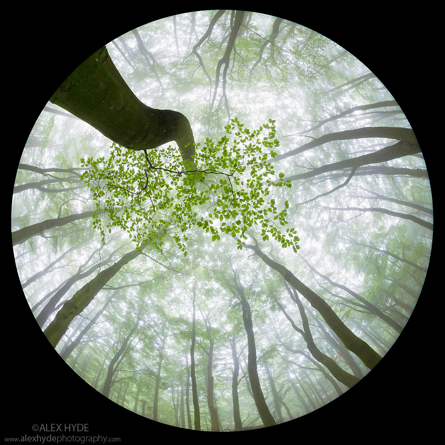 Looking up at Beech {Fagus sylvatica} woodland canopy in summer, photographed with a circular fisheye lens. Derbyshire, UK. August.