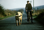 Ireland rural west coast a boy takes a fat pig to market on his bicycle County Kerry Republic of Ireland Eire 1970s