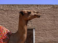 Kamel in Xiva, Usbekistan, Asien, UNESCO-Weltkulturerbe<br /> camel in historic city Ichan Qala, Chiwa, Uzbekistan, Asia, UNESCO heritage site