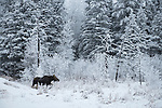 Moose in the boreal forest, hoar frost covered trees,<br /> winter in Manitoba, Canada. Riding mountain national park.