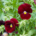 Viola wittrockiana x cornuta 'Panola Rose', mid June. Commonly known as the Panola(TM) Rose Pansy.