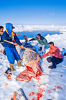 narwhal, or narwhale, Monodon monoceros, a catch of Inuit, being cleaned for consumption, Canada, Arctic Ocean