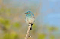 Male Mountain Bluebird (Sialia currucoides).  Western U.S., June.