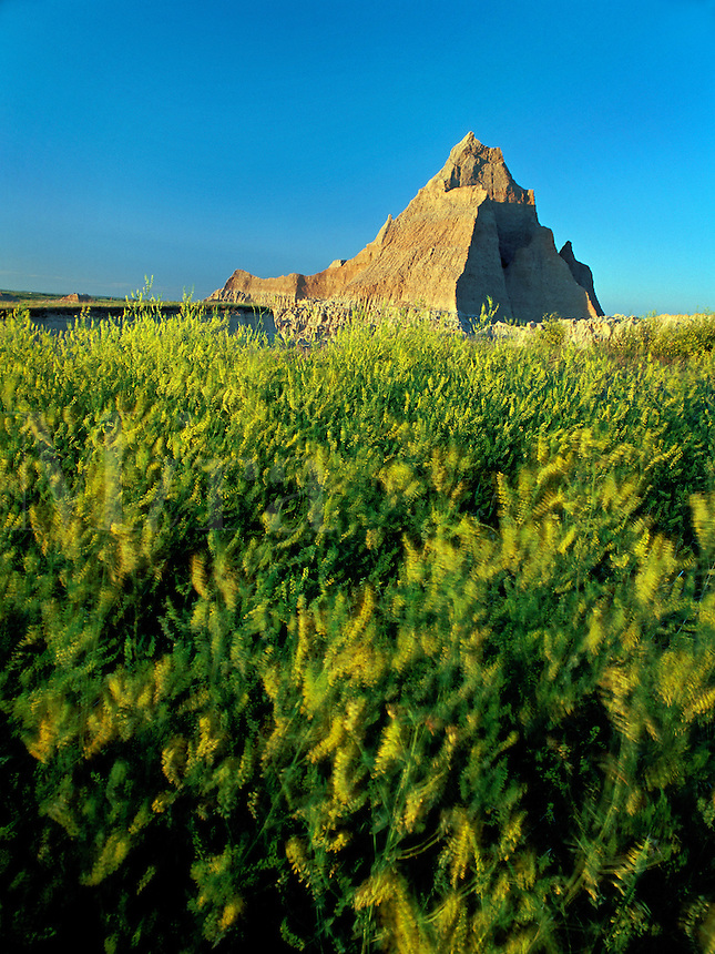 Yellow sweet clover and pinnacle, Badlands National Park, South Dakota