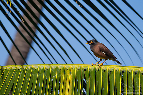 Common Myna on Palm Frond