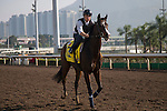 SHA TIN,HONG KONG-DECEMBER 09: Signs Of Blessing,trained by Francois Rohaut,exercises in preparation for the Hong Kong at Sha Tin Racecourse on December 9,2016 in Sha Tin,New Territories,Hong Kong (Photo by Kaz Ishida/Eclipse Sportswire/Getty Images)