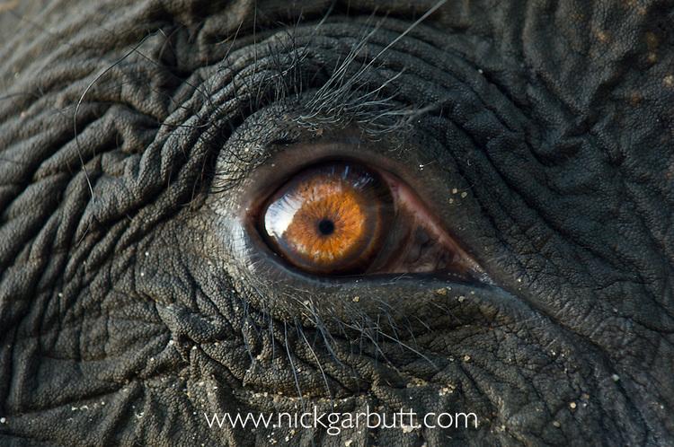 Close-up study of eye of Asian Elephant (Elaphas maximus). Kaziranga National Park, Assam, India.