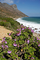 Betty's Bay, Seascape and Flowers, South Western Cape, South Africa,