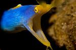 Blue ribbon eel, Rhinomuraena quaesita, Anilao, Batangas, Philippines, Pacific Ocean