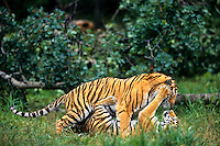 Siberian Tigers (Panthera tigris altaica) play fighting--mating behavior.