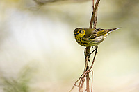 Cape May Warbler (Setophaga tigrina) female in breeding plumage foraging during migration at Doodletown, Bear Mountain State Park, New York.