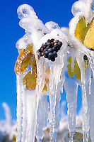 Ice Covered Red Grapes hanging on Vine for Ice Wine Harvest, South Okanagan Valley, BC, British Columbia, Canada