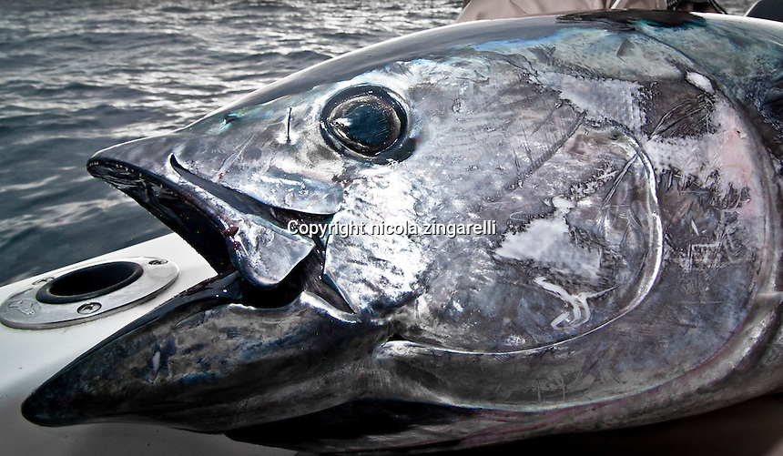 This image shows the detail of the head of a quite large Blufin Tuna, a fish in excess of 150lb. Is clearly visible what the leader of the line has been doing to the fish gillplates, rubbing and scratching them