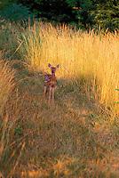 Fawn standing alert facing forward in tall yellow grass