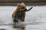 A grizzly bear runs down Silver Salmon Creek after catching a fish in Lake Clark National Park, Alaska.