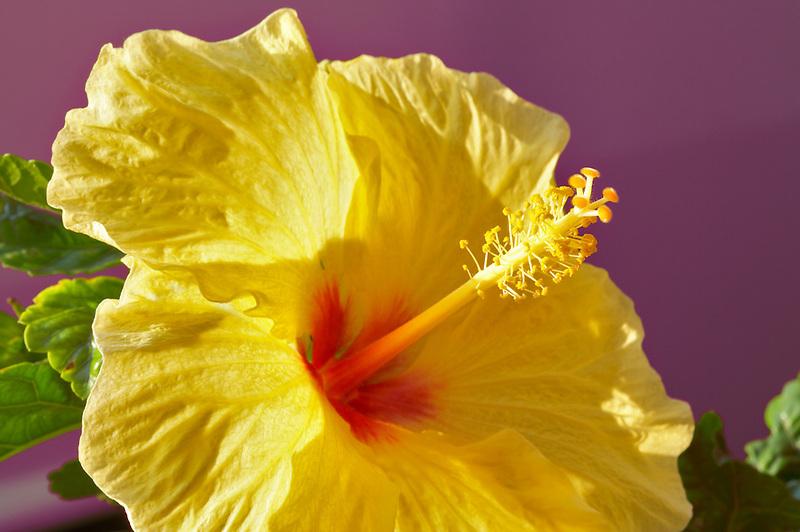 Hybiscus close up. Maui