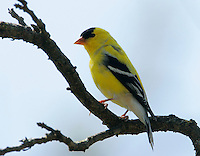 Adult male American goldfinch in breeding plumage