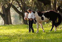 Middle age American Indian woman walks under huge oak trees with her American Paint Horse stallion.