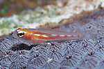 Coryphopterus hyalinus, Glass goby, Dry Tortugas, Florida Keys