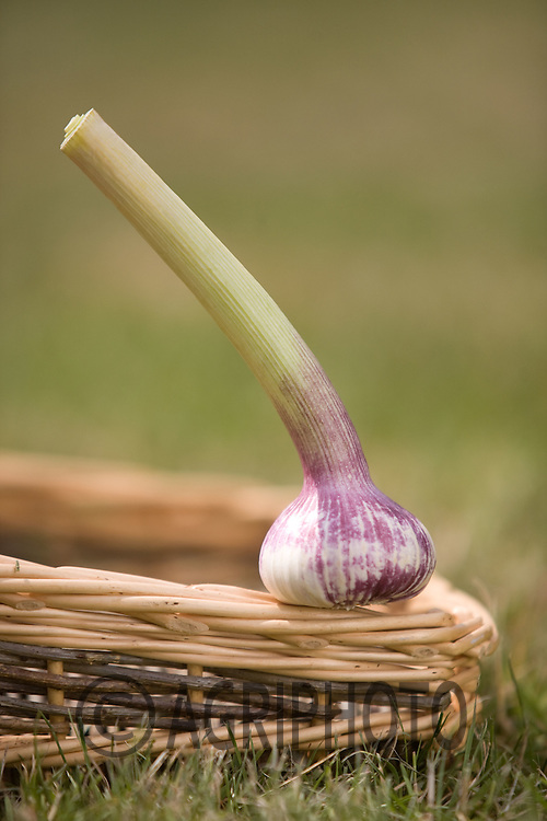 Green Garlic Bulbs