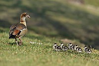 Egyptian Goose (Alopochen aegyptiaca), adult with chicks, Hill Country, Central Texas, USA
