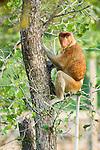 Adult male Proboscis Monkey (Nasalis larvatus) in mangrove forest. Bako National Park, Sarawak, Borneo., Sarawak, Borneo.