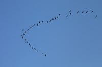 Kraniche, Kranich im Flug zur Zugzeit, Schwarm, Trupp, Grus grus, Crane, Grue cendrée, am Himmel, Vogelzug